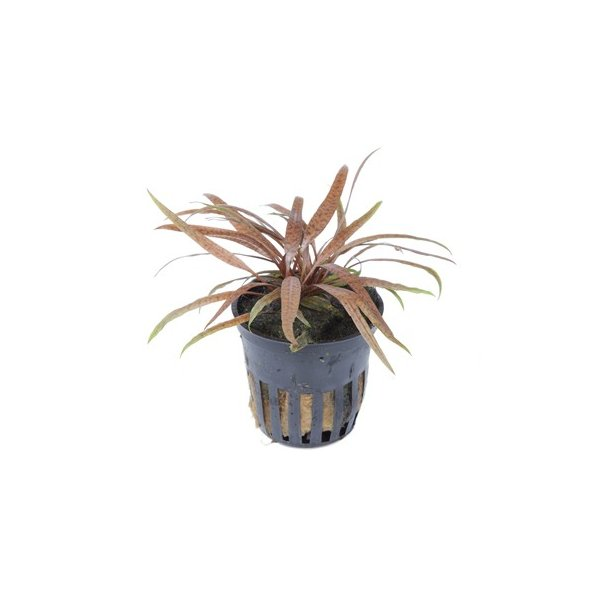 Tropica Cryptocoryne albida 'Brown'