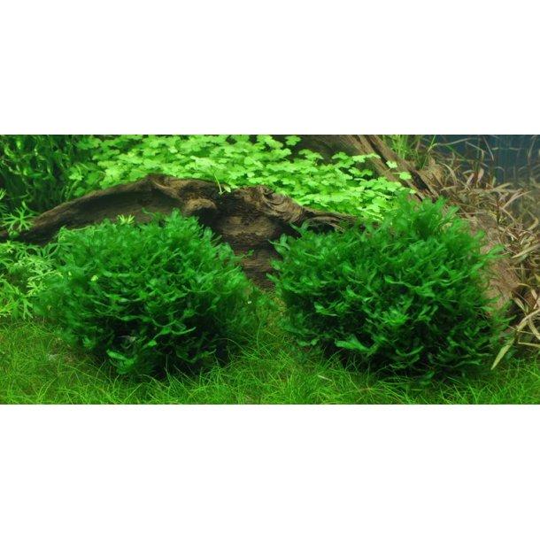 1-2-Grow. Monosolenium tenerum