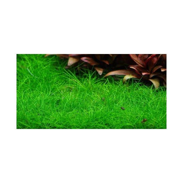 Tropica 1-2-Grow. Eleocharis acicularis 'Mini'